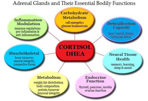 adrenal cortisol levels  u2013 healedbybacon