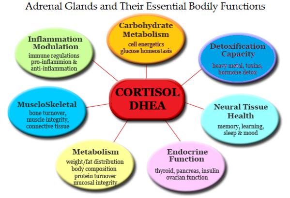 adrenal-gland-chart