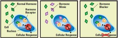 BPA Hormones thyroid